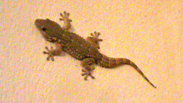 gecko fett
